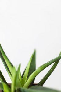 Aloe Vera - det naturlige mirakel
